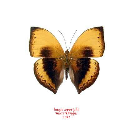 Cymothoe hypata (RCA)