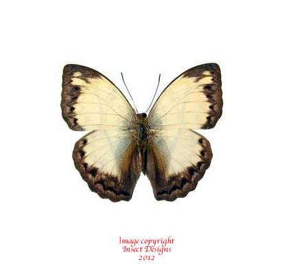Cymothoe jodutta (RCA)