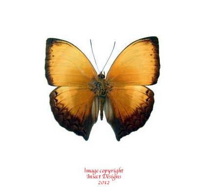 Cymothoe lurida (RCA)