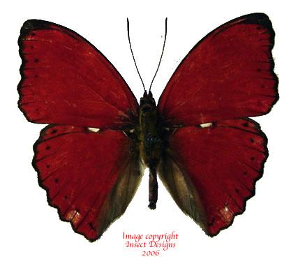 Cymothoe rouge (RCA) A-