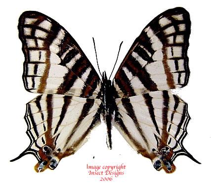 Cyrestis camilus (RCA)