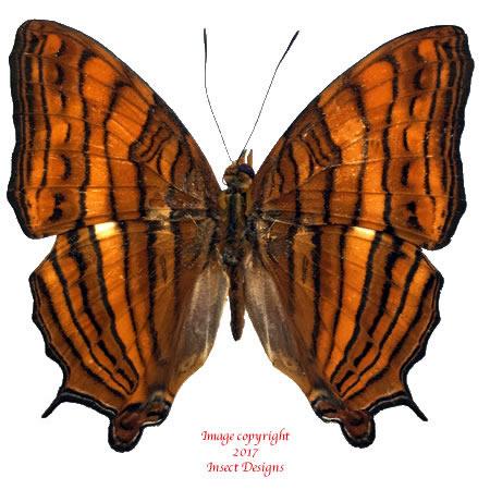 Cyrestis thyonneus (Ceram)
