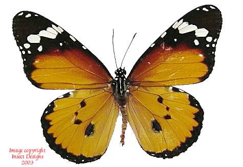 Danaus chrysippus (RCA) A-