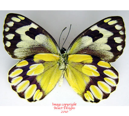 Delias battana (Sulawesi)