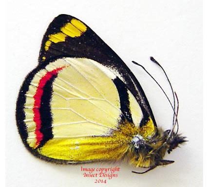 Delias bothwelli (Arfak) A2