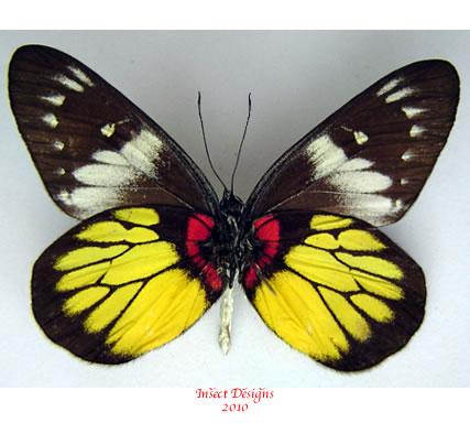 Delias crithoe (Java)