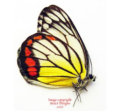Delias hyparete palawanica (Philippines) A-