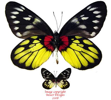 Delias pasithoe siamensis (Thailand) A2