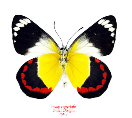 Альбом пользователя ЕкатеринаКостинская: Бабочка Делиас тиморенсис бабберика. Коллекция 36 бабочек-малявок