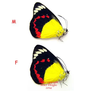 Delias timorensis moaensis (Moa) A1 and A2