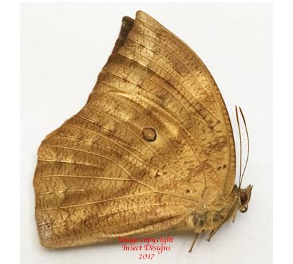 Discophora dodong (Philippines) - female