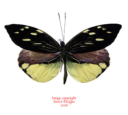 Dismorphia nemesis (Peru)