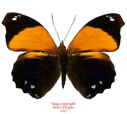 Epiphile lampethusa (Peru)