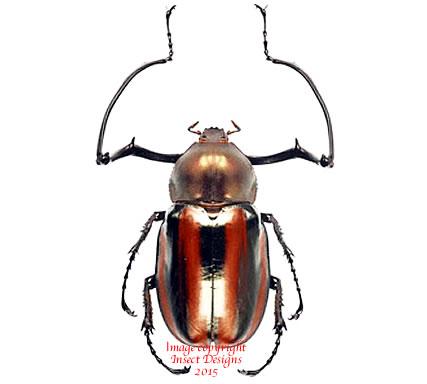 Euchirus dupontianus (Philippines)