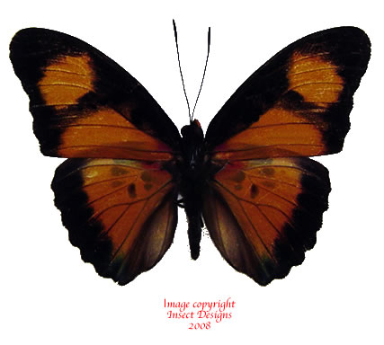 Euphaedra cyparissa (RCA)