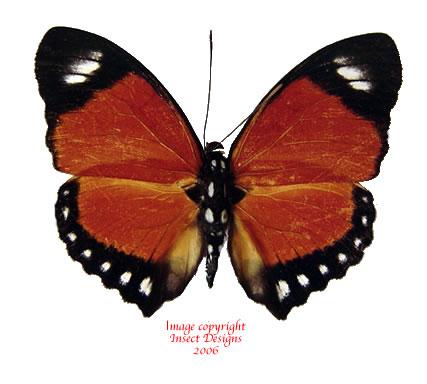 Euphaedra ruspina (RCA)