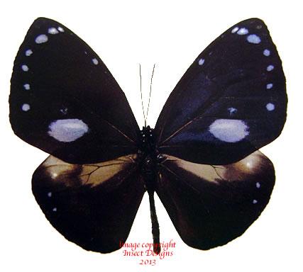 Euploea eunice eunice (Philippines) A1 and A-