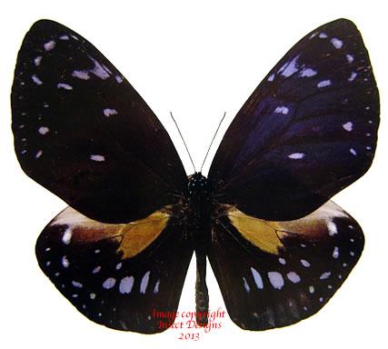 Euploea phaenareta margaretae (Philippines)