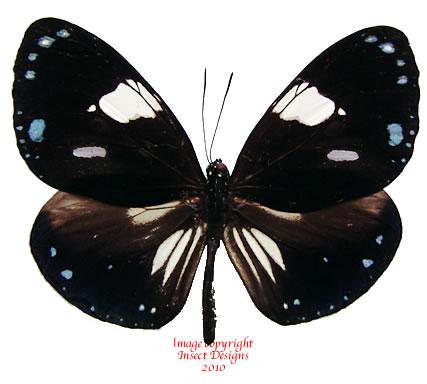 Euploea rhadamanthus schildi (Tanahmesa)