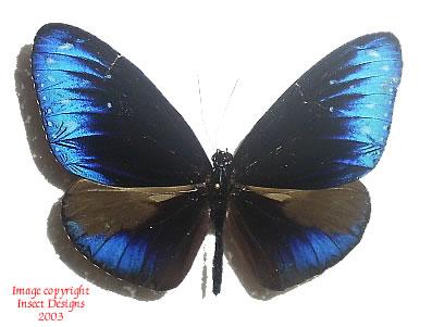 Euploea mulciber paupera (Philippines)