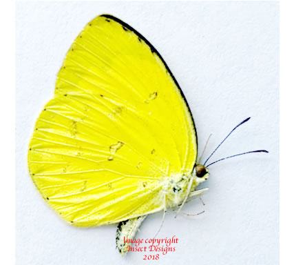 Eurema hecabe tamiathis (Philippines) A-