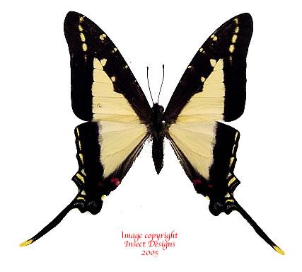 Eurytides dioxippius diores (Peru)