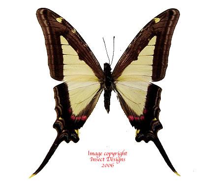 Eurytides leucaspis (Peru)