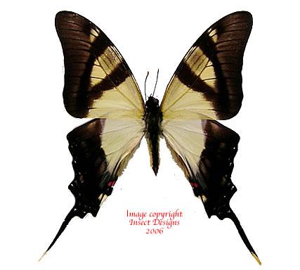 Eurytides serville (Peru) A-