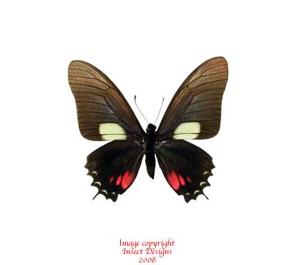 Eurytides xynias (Peru)