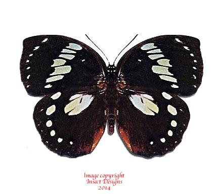 Euxanthe madagascariensis (Madagascar) A-