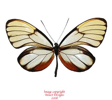 Godyris duillia (Peru) A2