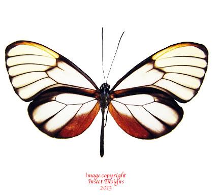 Godyris sp. (Peru)