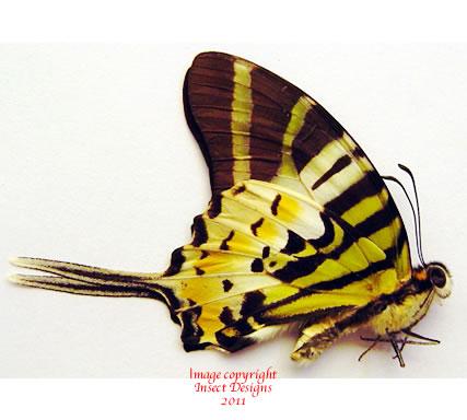 Graphium decolor neozebraica (Philippines) A-