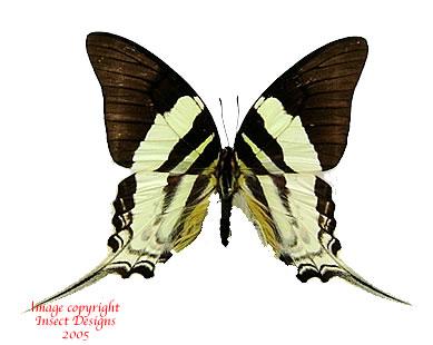 Graphium dorcas (Muna)