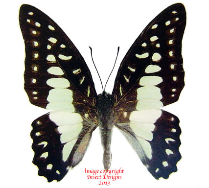 Arisbe eurypylus gordion (Philippines) A-