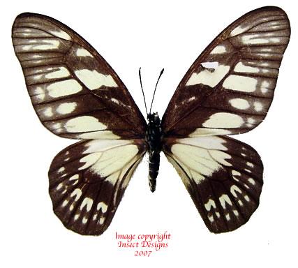 Graphium adamastor (RCA)