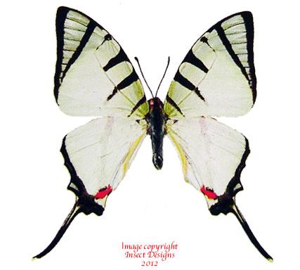 Graphium agetes agetes (Thailand)