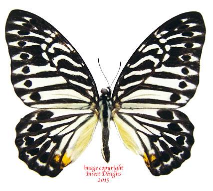 Graphium deleserti deleserti (Malaysia)