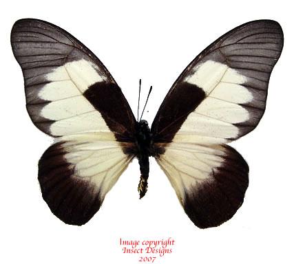 Graphium hachei (RCA)
