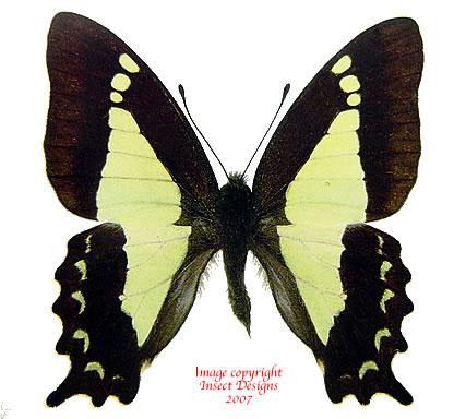 Graphium sandawanum sandawanum (Philippines) A-