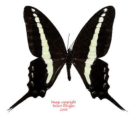 Graphium kirbyi (Tanzania) A2