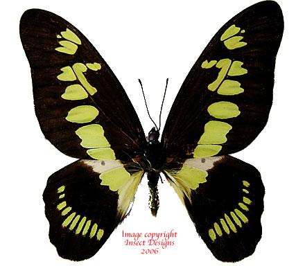 Graphium latreillianus theorini (RCA) A-