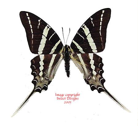 Graphium rhesus (Sulawesi) A-