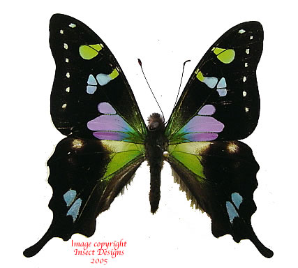 Graphium weiskei (Timika, PNG)