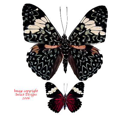 Hamadryas amphinome (Peru) A-