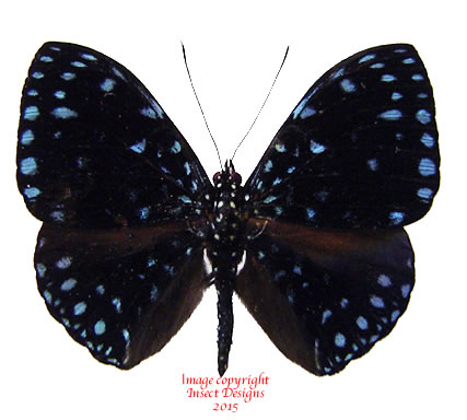 Hamadryas laodamia (Costa Rica)