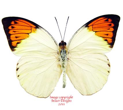 Hebomoia glaucippe philippensis (Philippines) A2