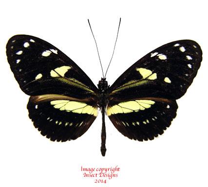 Heliconius atthis (Ecuador) A2