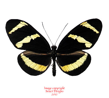 Heliconius hewitsoni (Costa Rica) A2