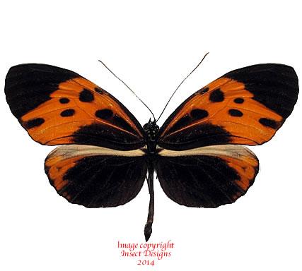 Heliconius numata bicoloratus (Peru) A2